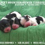 Rocky Mountain Biewer Terriers B-Litter