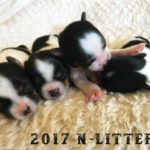 2017 N-Litter Rocky Mountain Biewer Terriers