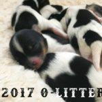 2017 O-Litter Rocky Mountain Biewer Terriers