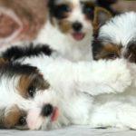 Available Biewer Terrier Girl Miss Hannah