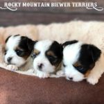 2017 H-Litter Rocky Mountain Biewer Terriers
