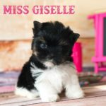 Rocky Mountain Biewer Puppy Miss Giselle