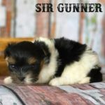 Sir Gunner AKC Biewer Terrier Boy