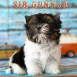 Available Biewer Puppy Sir Gunner