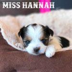 Rocky Mountain's Miss Hannah Biewer Terrier Girl
