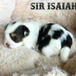 Sir Isaiah Biewer Terrier Boy 3 Weeks old