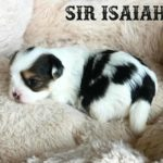 Sir Isaiah Biewer Terrier Boy