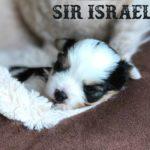 Sir Israel Biewer Terrier Boy 3 Weeks old