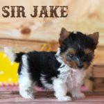 Rocky Mountain Biewer Puppy Sir Jake
