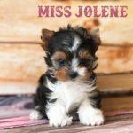 Available Biewer Puppy Miss Jolene