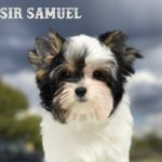 Available Biewer Puppy Sir Samuel