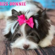 Miss Bonnie Chocolate Biewer Yorkie Girl