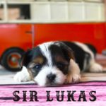 Available Biewer Puppy Sir Lukas