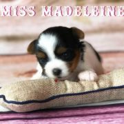 Available Biewer Puppy Miss Madeleine