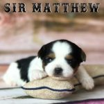 Available Biewer Puppy Sir Matthew
