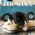 Available Biewer Puppy Sir Niko