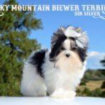 Biewer Puppy Sir Silver