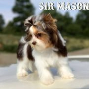 Sir Mason Chocolate Biewer Puppy