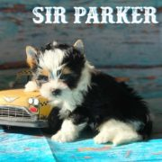 Biewer Terrier Puppy Sir Parker