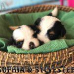 Biewer Puppy Sir Sylvester