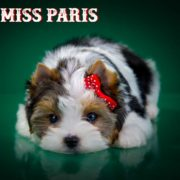 Miss Paris Biewer Terrier Puppy Girl