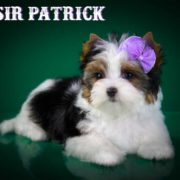 Sir Paco Biewer Terrier Boy