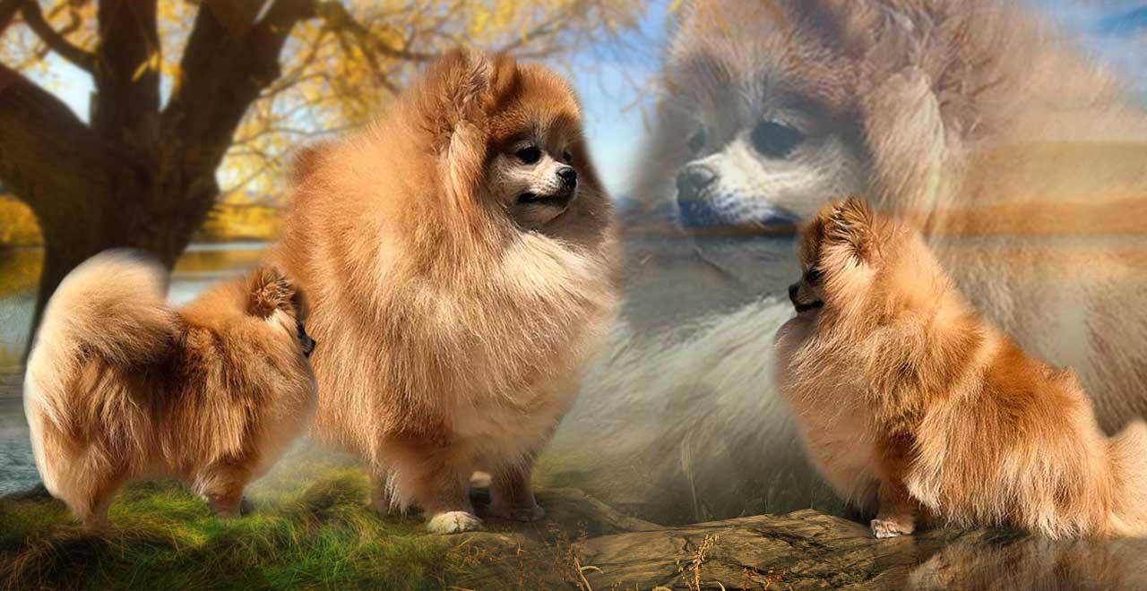 Rocky Mountain Pomeranians