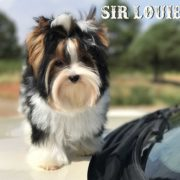 Sir Louie Biewer Terrier Puppy