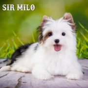 Sir Milo Biewer Terrier Girl