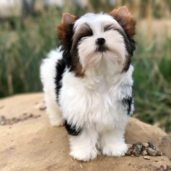 Sir Paco Biewer Terrier Boy