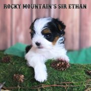Rocky Mountain's Sir Ethan Biewer Terrier Puppy