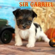 Rocky Mountain's Sir Gabriel Biewer Terrier