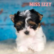 Rocky Mountain's Miss Izzy Biewer Terrier Puppy
