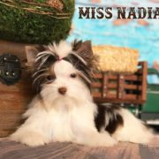 Miss Nadia Chocolate Biewer Yorkie Girl