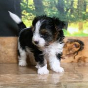 Rocky Mountain's Sir Ethan, Biewer Terrier Puppy