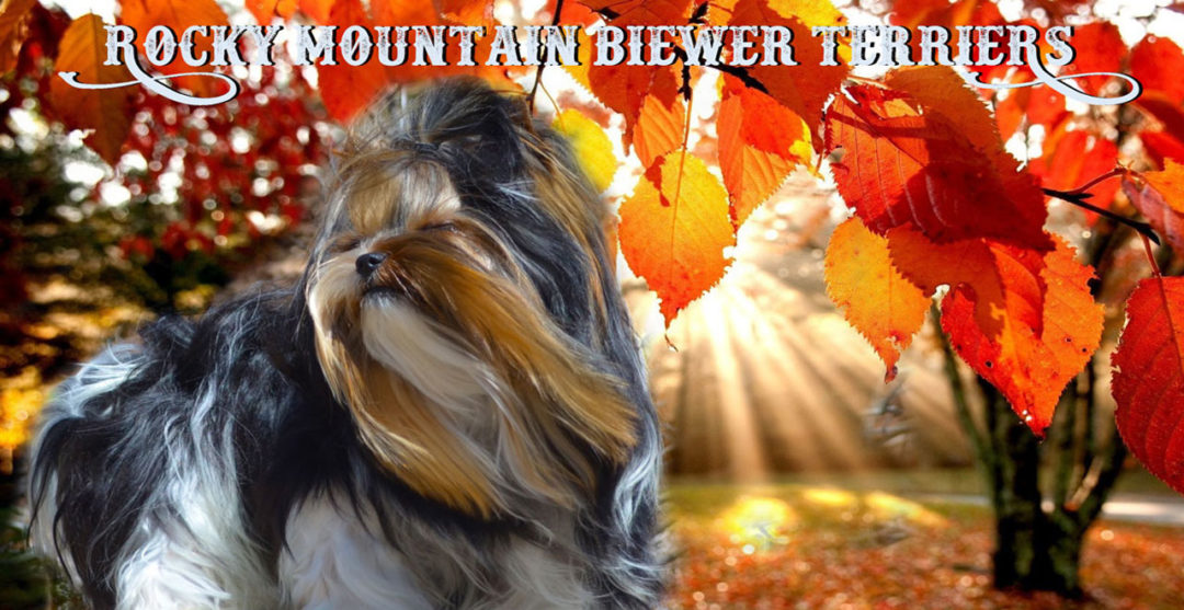 Rocky Mountain Biewer Terrier Fall Season
