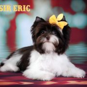 Chocolate Biewer Yorkie Sir Eric