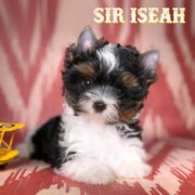 Biewer Terrier Puppy Sir Iseah