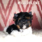 Miss Jolene Biewer Terrier Puppy