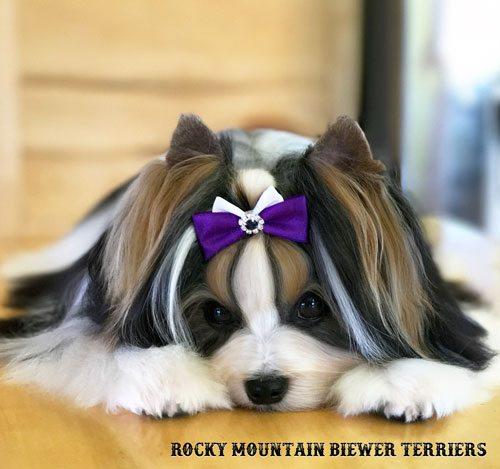 Show Dog Bows