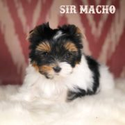 Rocky Mountain's Sir Macho Biewer Terrier Puppy