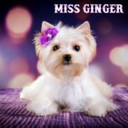 Miss Ginger Golddust Puppy Girl