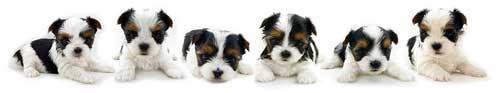 Rocky Mountain Biewer Terrier Puppies
