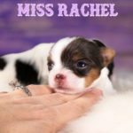 Rocky Mountain's Miss Rachel Biewer Terrier Puppy