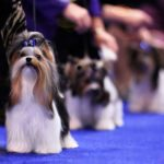 Best in Show Biewer Terrier Donny