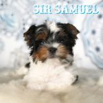 Rock Mountain Biewer Terrier Show Puppy Sir Samuel