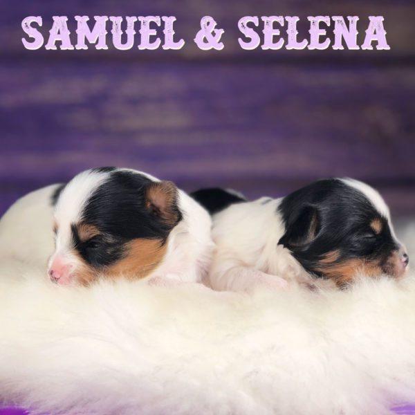 Biewer Terrier Puppy Miss Selena