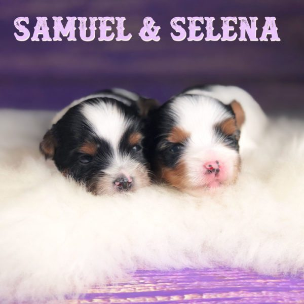 Biewer Terrier Puppy Sir Samuel