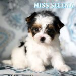 Miss Selena Biewer Terrier Puppy