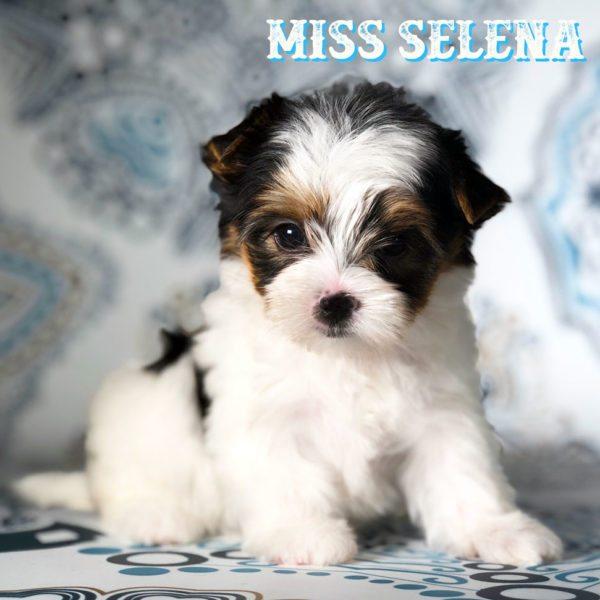 Miss Selena Biewer Terrier Puppy